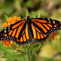 monarch 200x200